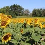 field-of-sunflowers-ofallon