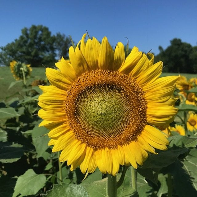 large-sunflower-head